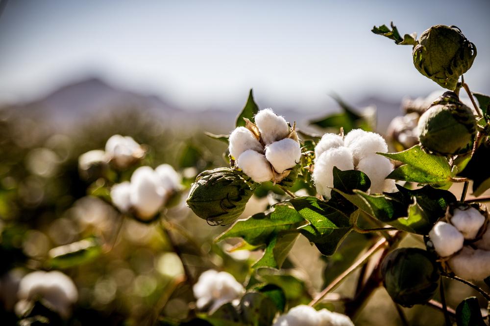 champ coton biologique